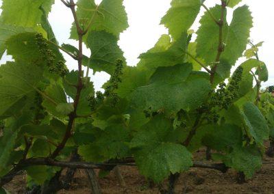 Vignes domaine Michel Bregeon