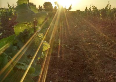 Le soleil et la vigne