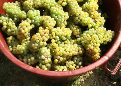 Raisins vendangés